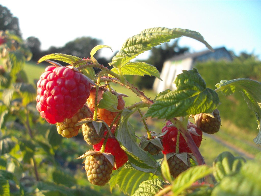 Organic Autumn Raspberries