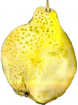 pear1-624x837